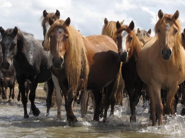 Zdjęcia: Kerulen, Ajmak Chentejski, Ciekawskie konie, MONGOLIA