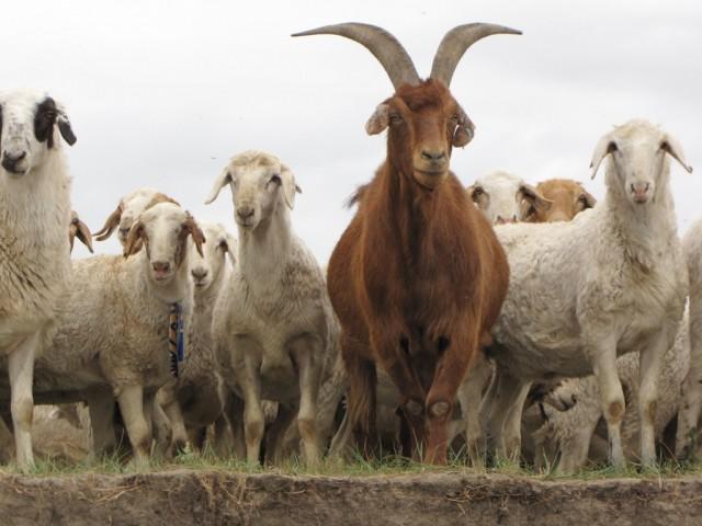 Zdjęcia: Kerulen, Ajmak Chentejski, kozy, jedna elegantka w krawacie..., MONGOLIA