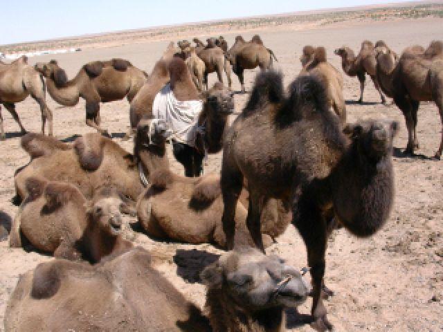 Zdjęcia: gdzieś na pustyni..., Gobi, Między nami garbusami, MONGOLIA
