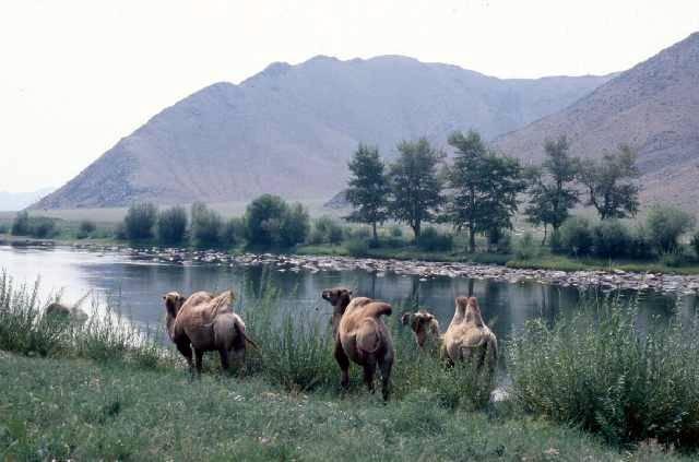 Zdjęcia: Delger Mörön, Khövsgöl Aimak, Wielbłądy, MONGOLIA