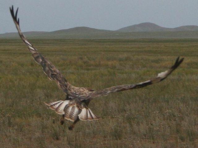 Zdjęcia: Eej Khad, Ptak drapieżny, MONGOLIA