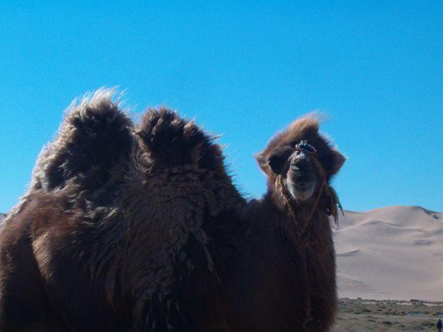 Zdjęcia: Pustynia Gobi, Piękność Pustynna, MONGOLIA