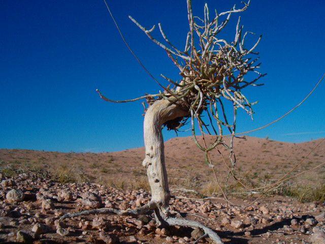 Zdjęcia: Pustynia Gobi, Roślinność Spiaszczona, MONGOLIA