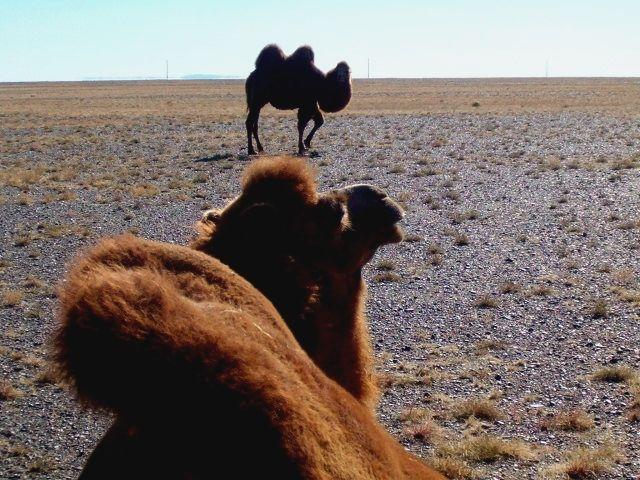 Zdjęcia: Pustynia Gobi, Modelki pustynne, MONGOLIA