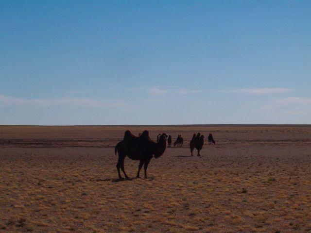 Zdjęcia: Gobi, Żyjący Dinoaur, MONGOLIA