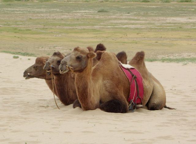 Zdjęcia: Chongoryn Els, Gobi, Wielbłądy, MONGOLIA