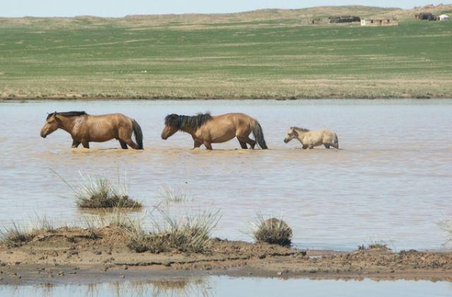 Zdjęcia: Gobi, Gobi, Dzikie konie, MONGOLIA