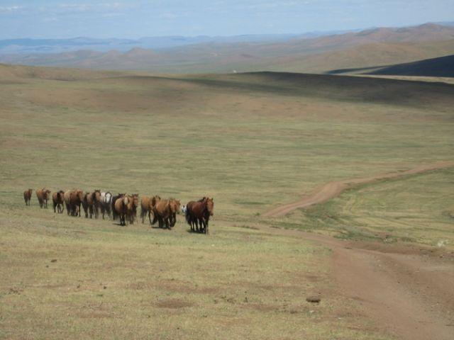 Zdjęcia: Gobi, Gobi, Konie na stepie, MONGOLIA