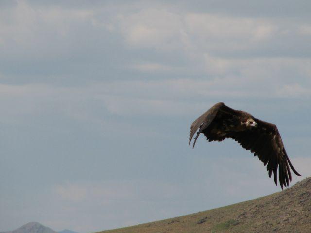 Zdjęcia: ptak, MONGOLIA