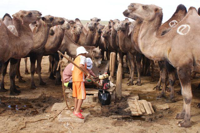Zdjęcia: Mongolia, Kamele u wodopoju, MONGOLIA