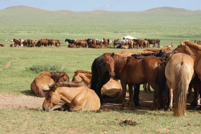 Zdjęcia: step, Konie na stepie, MONGOLIA