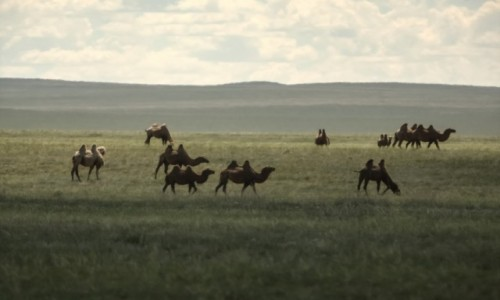 Zdjęcie MONGOLIA / płn. Mongolia / płn.Mongolia / Błądzące wielbłądy...