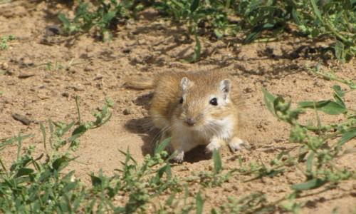 MONGOLIA / wschodnia Mongolia /   / Suwak mongolski (myszoskoczek)