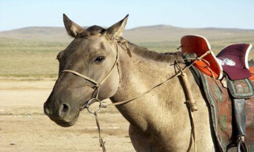 MONGOLIA / Gobi / Gobi / Koń mongolski