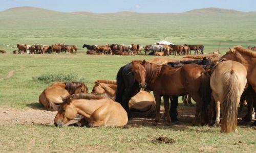 MONGOLIA / - / step / Konie na stepie