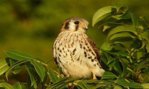 Zdjęcie MONTSERRAT (Wielka Brytania) / Belham / Dżungla / Sokół antylski