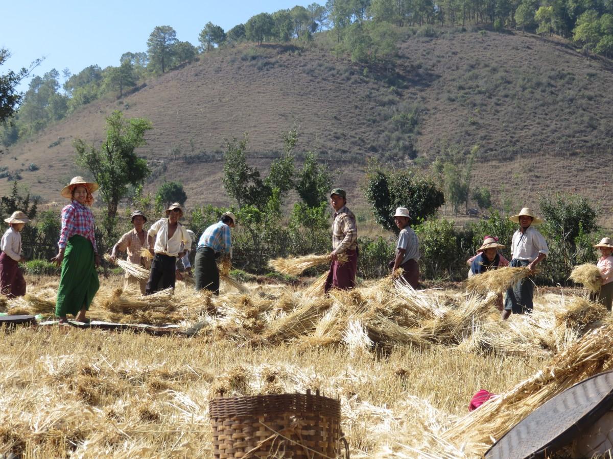 Zdjęcia: W DRODZE NAD INLE LAKE, SHAN, ŻNIWIARZE, MYANMAR