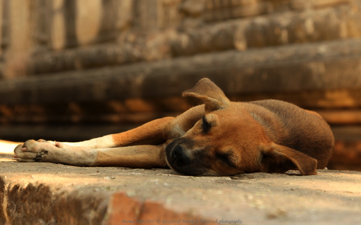 Zdjęcia: Bagan, Mandalaj, Myanmar (Birma), psy spod świątyni Mya Zedi Pagoda, MYANMAR