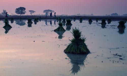 Zdjecie MYANMAR / -Pathain / Ngwe Saung / ryzowe poletko