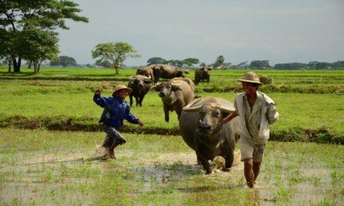 Zdjecie MYANMAR / Bago / Bago / Dzieci i bydło