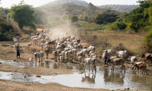 Zdjęcie MYANMAR / Okolica Bago / j.w. / Pędzenie bydła