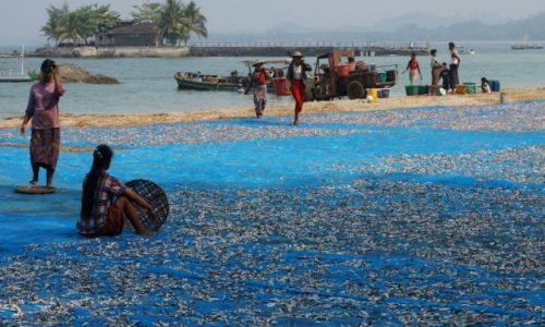 Zdjecie MYANMAR / Ayeyarwady  / Okolice  ngwe saung / Suszenie ryb nd Zatoką Bengalską