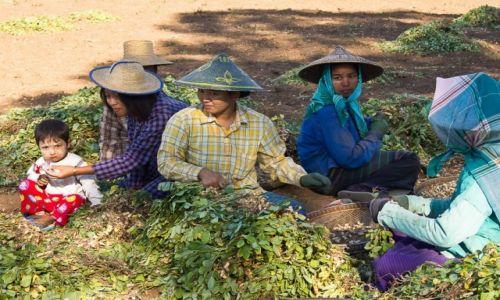 Zdjęcie MYANMAR / okolice Shwebo / przy drodze / Zbiór orzeszków ziemnych