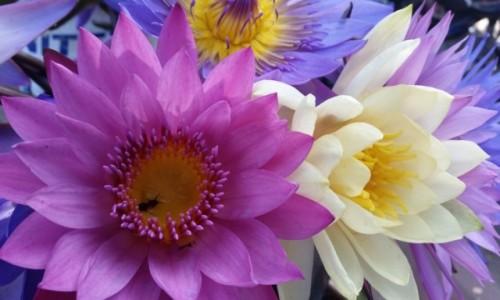 Zdjęcie MYANMAR / gdzieś po drodze / targ / Do kwiatowej kolekcji - Lotos (z dodatkiem) :)