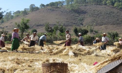 Zdjecie MYANMAR / SHAN / W DRODZE NAD INLE LAKE / ŻNIWIARZE