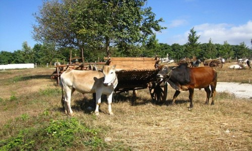 Zdjęcie MYANMAR / stan Shan / trasa Taunggyi - Kakku / targ bydła