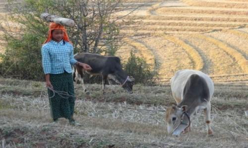 Zdjecie MYANMAR / Shan / treking z Kalaw nad Inle / transport opału