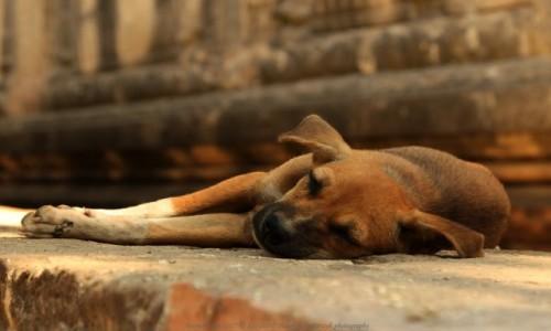 Zdjęcie MYANMAR / Mandalaj / Bagan / Myanmar (Birma), psy spodświątyniMya Zedi Pagoda