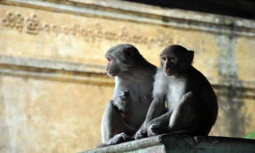 Zdjecie MYANMAR / brak / Mount Pop / Małpki niby małe i słodziutkie, ale w rzeczywistości dośc niebezpieczne :)