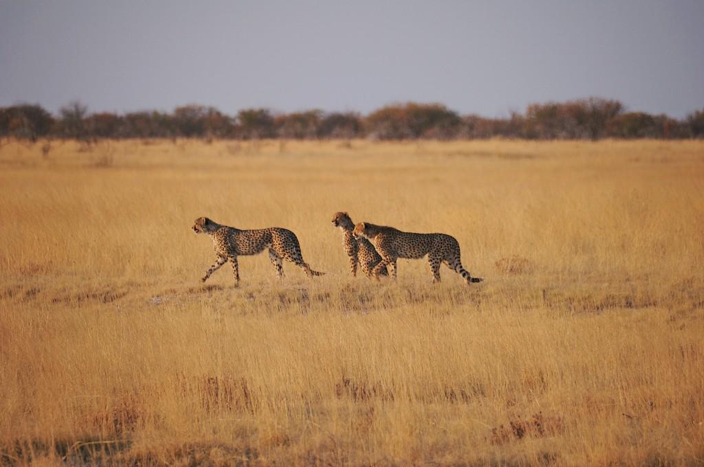 Zdjęcia: Park Narodowy Etosha, Przed polowaniem, NAMIBIA