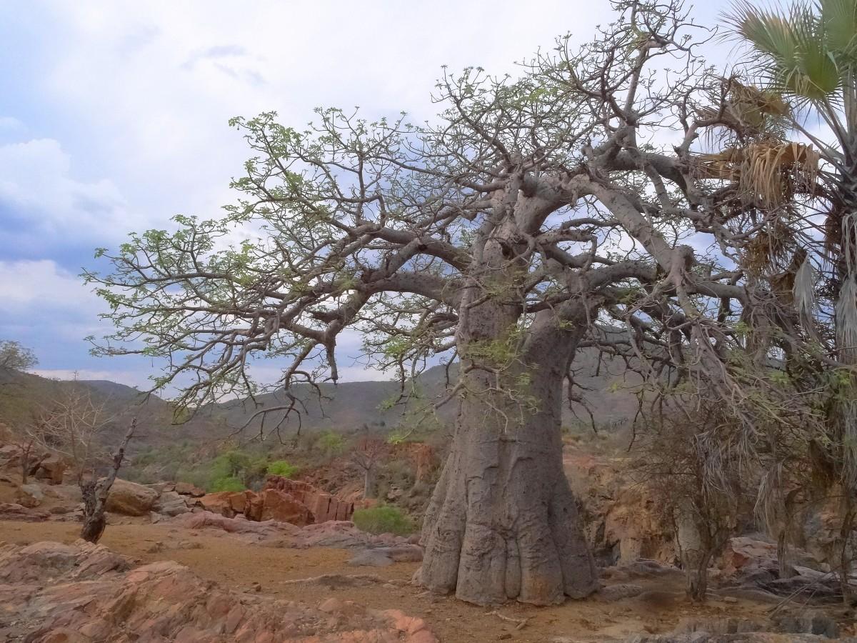 Zdjęcia: Nad rzeką Kunene, Kaokoland, Dla Baobab-ki, NAMIBIA