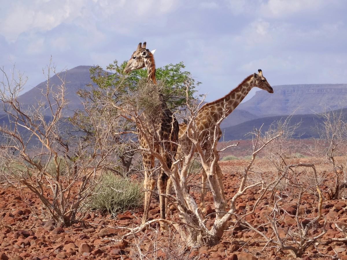 Zdjęcia: Gdzieś przy drodze, Etosha , Kocham żyrafy!, NAMIBIA
