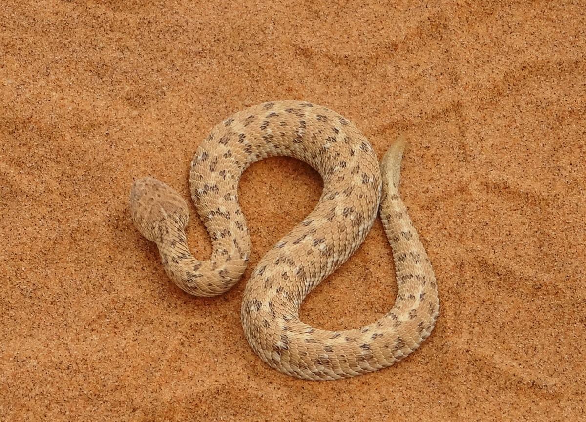 """Zdjęcia: okolice Swakopmund, Pustynia Namib, W poszukiwaniu """"little five"""" - wąż pustynny, NAMIBIA"""