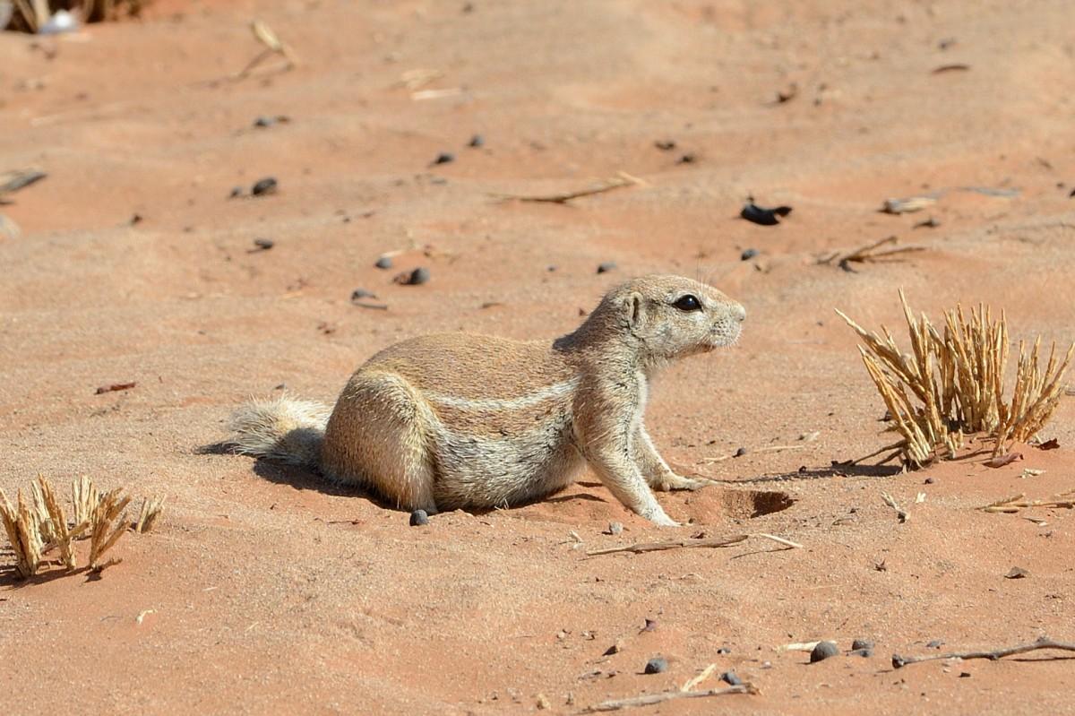Zdjęcia: Kemping w Sesriem, Park Narodowy Namib, Świstak afrykański, NAMIBIA