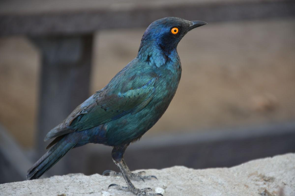 Zdjęcia: Park Narodowy Etosha / Halali, Północna Namibia, Błyszczak Stalowy, NAMIBIA