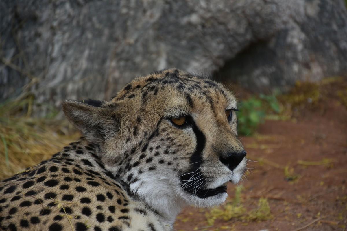 Zdjęcia: Farma Otjitotongwe , Okolice Kamanjab, Geparda portret wlasny, NAMIBIA