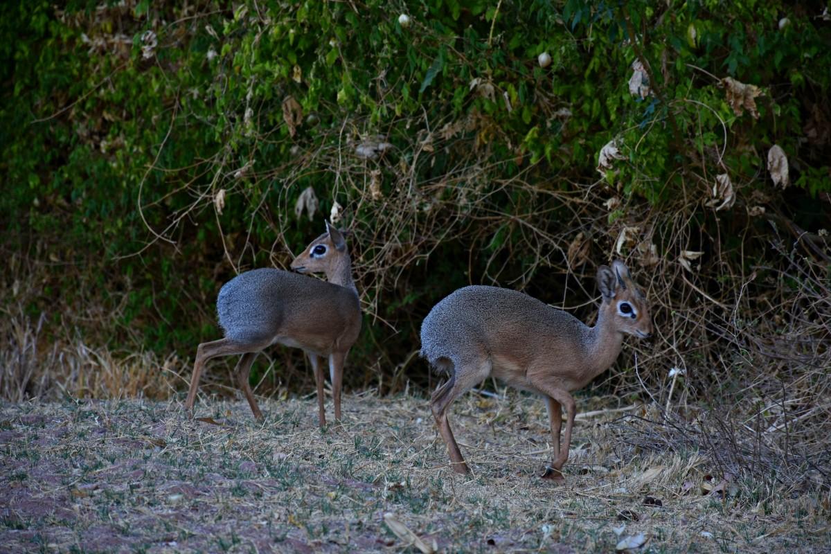 Zdjęcia: Płaskowyż Waterberg , Północna Namibia, Dikdik, NAMIBIA