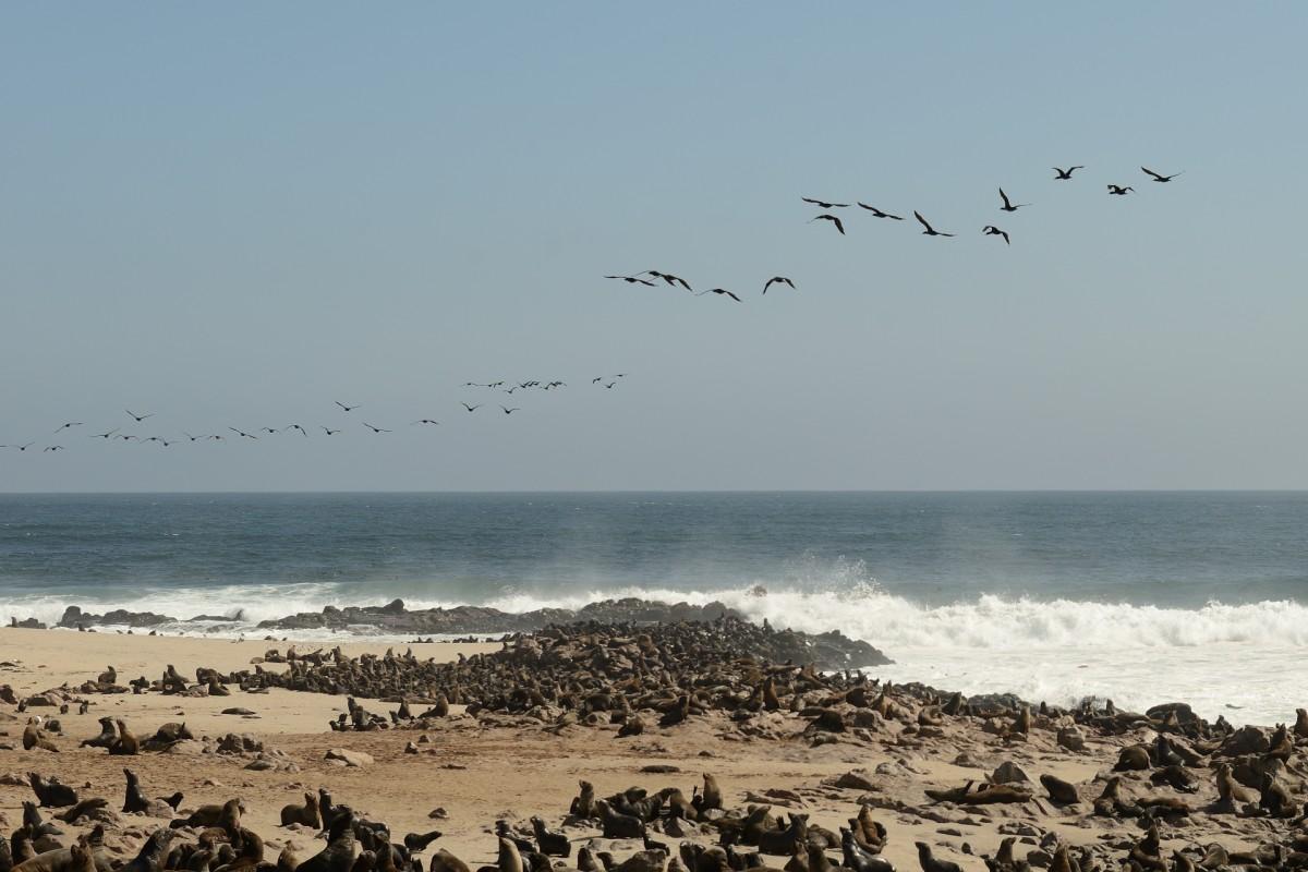Zdjęcia: Cape Cross, Cape Cross, Kotiki, NAMIBIA