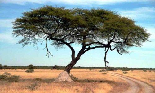 Zdjecie NAMIBIA / Afryka / Etoscha / Akacja