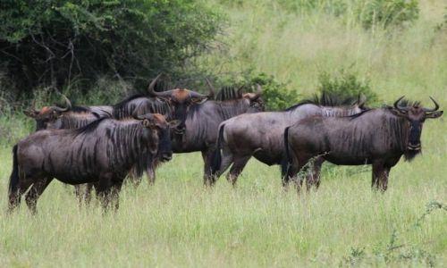 NAMIBIA / Caprivi / Mahango / Gnu pręgowane - Blue Wildebest