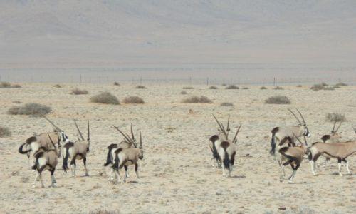 Zdjęcie NAMIBIA / Okolice Luderitz / Kolmanskop / Stado pustynnych oryksów