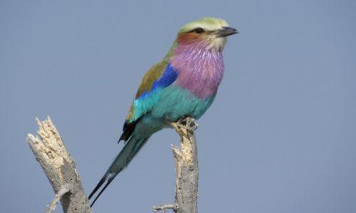 Zdjecie NAMIBIA / Park Narodowy Etoszy / Halali / Kraska liliowopierśna