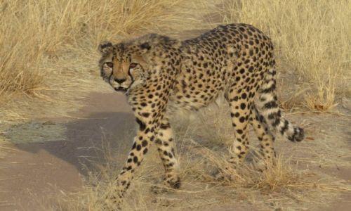 Zdjecie NAMIBIA / środkowa Namibia / półotwarta farma / gepard