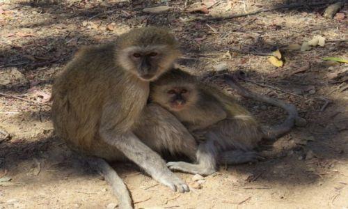 Zdjecie NAMIBIA / werweta / rezerwat Mahango / przytul mnie mamo