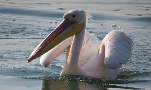 Zdjecie NAMIBIA / Walvis Bay / Ocean Atlantycki / pelikan różowy