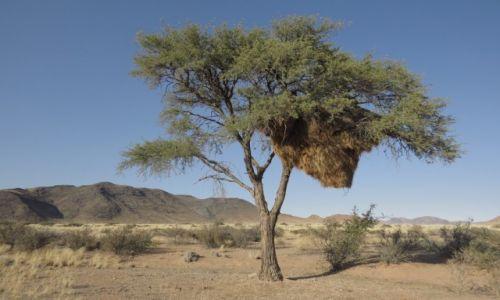 Zdj�cie NAMIBIA / Centralna Namibia / sawanna / ogromne gniazdo kolonii wik�aczy